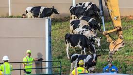 Scott Slade: Cows on the interstate