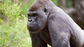 Zoo Atlanta announces multiple gorillas are being treated for COVID-19